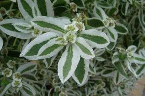 Euphorbia marginata Wilczomlecz obrzeżony
