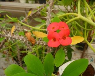 Wilczomlecz okazały Euphorbia milii