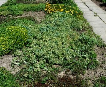 Wilczomlecz mirtowaty Euphorbia myrsinites