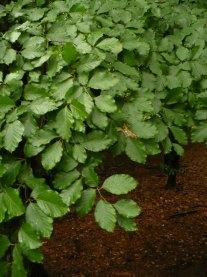 Buk zwyczajny liście Fagus leaves
