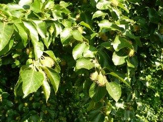 Buk zwyczajny owoce Fagus sylvatica
