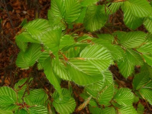 Buk zwyczajny Fagus sylvatica młode liście