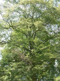 Buk zwyczajny aspleniifolia Fagus sylvatica aspleniifolia