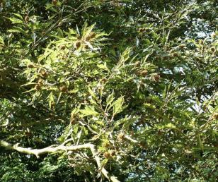 Fagus sylvatica Aspleniifolia Buk zwyczajny Aspleniifolia