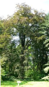 Buk zwyczajny atropurpurea