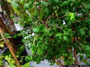 Figowiec benjamiński Ficus benjamina Barok
