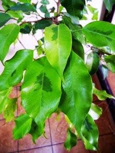 Figowiec benjamiński Margarita Ficus benjamina Margarita