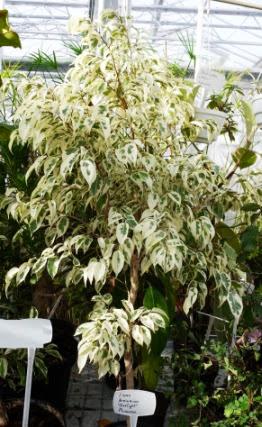 Figowiec benjamiński Starlight Ficus benjamina Starlight