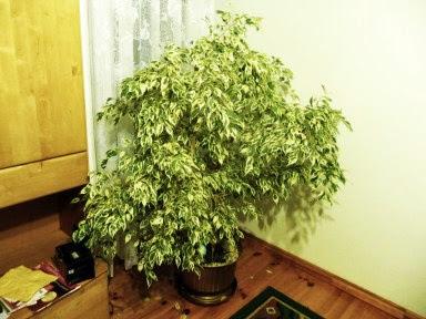 Figowiec benjamiński Variegata  Ficus benjamina Variegata