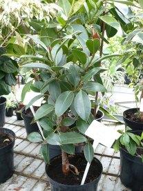Figowiec sprężysty Melany Ficus elastica Melany