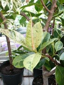 Figowiec sprężysty odmiana Schrijveriana Ficus elastica Schrijveriana
