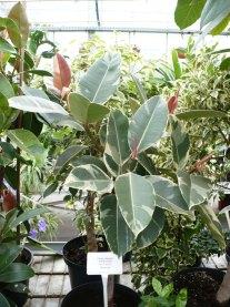 Figowiec sprężysty Variegata Ficus elastica Variegata