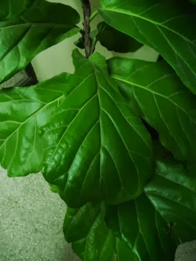 Figowiec lirolistny Ficus lyrata