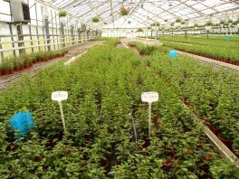 Fuksja mieszańcowa Fuchsia x hybrida