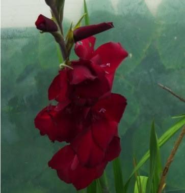 Mieczyk ogrodowy Gladiolus x hybridus