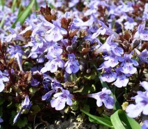 Kwiat bluszczyku kurdybanka Glechoma hederacea