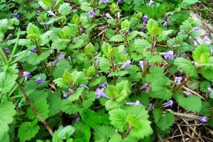 Bluszczyk kurdybanek Glechoma hederacea Ground ivy