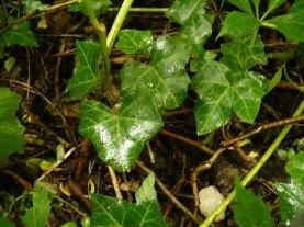Bluszcz pospolity liście Hedera helix leaves