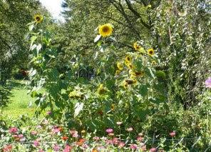 Zdjęcie słoneczników zwyczajnych