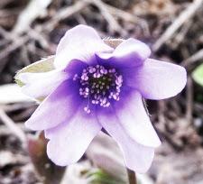 Przylaszczka pospolita kwiat Hepatica nobilis flower