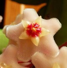Woskownica różowa kwiat