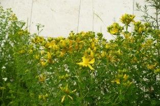 Dziurawiec zwyczajny kwiaty