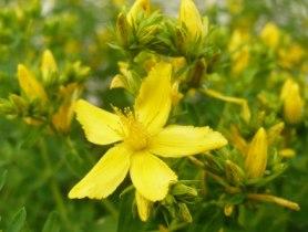 Dziurawiec zwyczajny kwiat hypericum perforatum flower