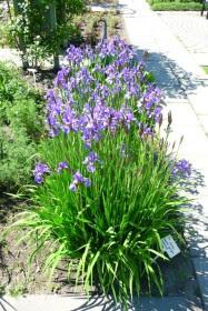 Kosaciec syberyjski Iris sibirica