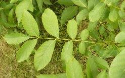Liść orzecha włoskiego Juglans regia leaf