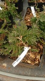 Jałowiec płożący Wiltoni Juniperus horizontalis Wiltoni