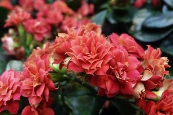Kalanchoe Blossfelda blossfeldiana