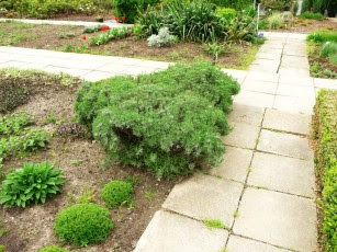 Lawenda wąskolistna Lavandula angustifolia