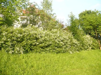 Kwitnący ligustr pospolity Ligustrum vulgare inflorescence