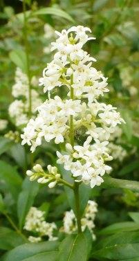 Ligustr pospolity kwiatostan Ligustrum vulgare panicle