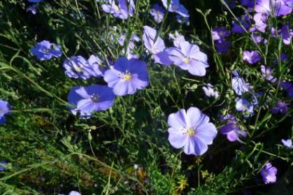 Len trwały Linum perenne kwiaty flowers