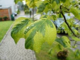 Tulipanowiec Aureomarginatum Liść Leaf