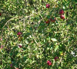 Jabłoń domowa Malus domestica