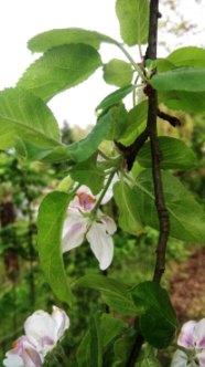 Jabłoń domowa owoce Malus domestica fruits