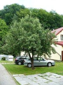 Jabłoń domowa drzewo