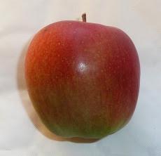 jabłko gloster