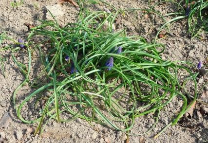 Szafirek drobnokwiatowy Muscari botryoides