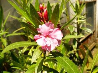 Oleander pospolity kwiat Nerium oleander flower