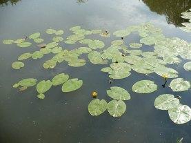 Grążel żółty Nuphar lutea