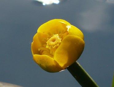 Grążel żółty zdjęcie kwiatu