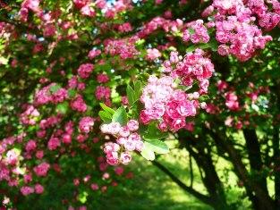 Kwitnący głóg Paul's Scarlet Inflorescence Paul's scarlet