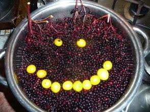 Bez czarny uśmiech Sambucus nigra smile