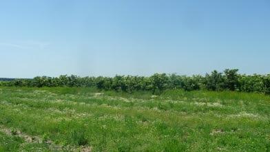 Bez czarny Sambucus nigra drzewo